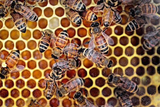 close-up-bees