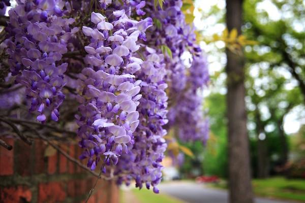 wisteria-blooms